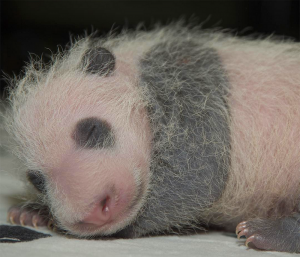 SMITHSONIAN NATIONAL ZOO  The panda cub has yet to be named, but will be bestowed one and presented to the public in January, contingent on health.