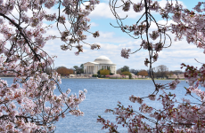 Friendship in Bloom: The Symbolism of Cherry Blossoms